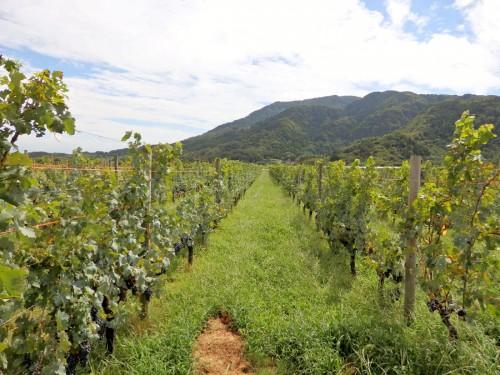 垣根式の美しいブドウ畑。