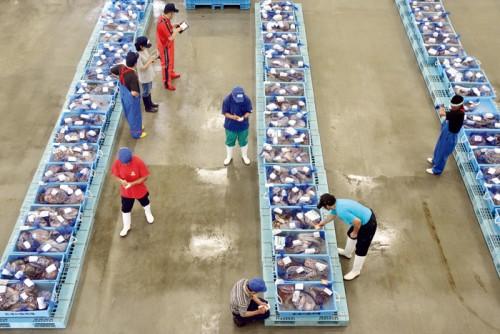 最もよい漁場である金華山沖へ出る時期(夏)は、広い魚市場がミズダコで埋め尽くされる。写真は買受業者による入札前の品定め。