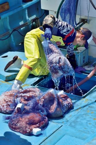 船底への張り付きや共食いを防ぐため、獲れたミズダコは1匹ずつナイロンの網袋に入れ運ばれる。網袋がはちきれそうな大物も。この日の総水揚げは約5トン。