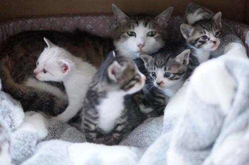 自分が産んだ子猫はもちろん、他のお母さん猫の子供も育てた肝っ玉母さんのにがりちゃん。にがりちゃんは、子育てを通して子猫たちにいろんなことを教えてあげました。