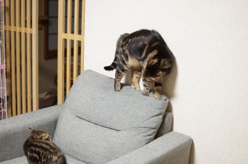 子猫のもしもし相手にやや本気モードで背中の毛を逆立てて「私、怒ってるのよ!」をアピールする一味ちゃん。