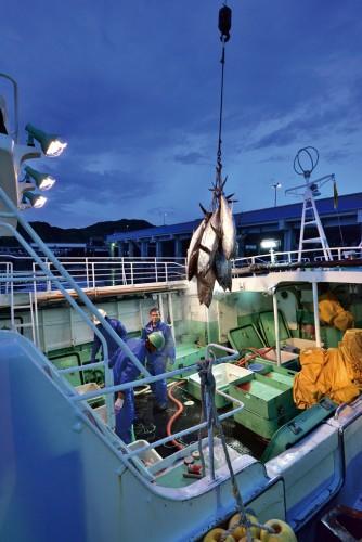 夜明けとともに、氷温で冷水保存された生まぐろが港に降ろされる。(撮影/宮地工)