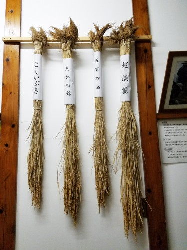 麒麟山酒造で酒造りに使用される米。