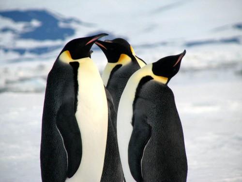 王様ペンギン。
