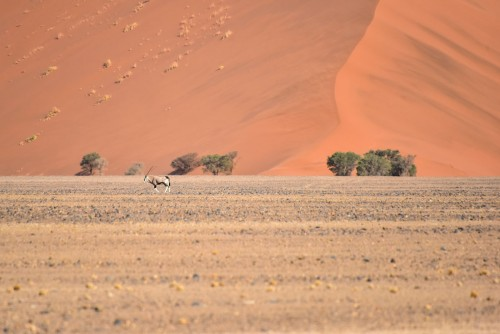 ナミブ砂漠のオリックス。