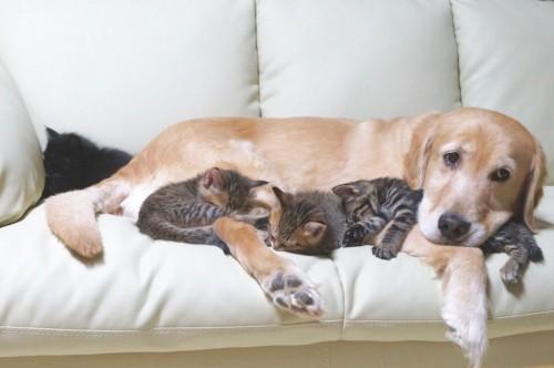 保護猫たちの飼育と飼い猫修行をする「ぽんちゃん保育園」の園長先生として、子猫のお世話をしてくれる頼もしいぽんちゃん。