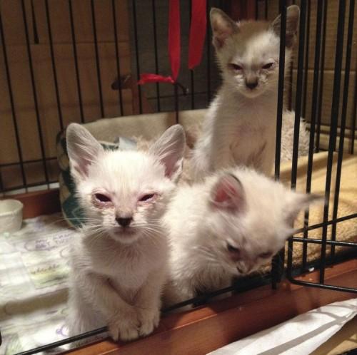 度の猫風邪で痛々しく目を腫らしていた豆腐三姉妹。左からもめん、とうふ、きぬ。