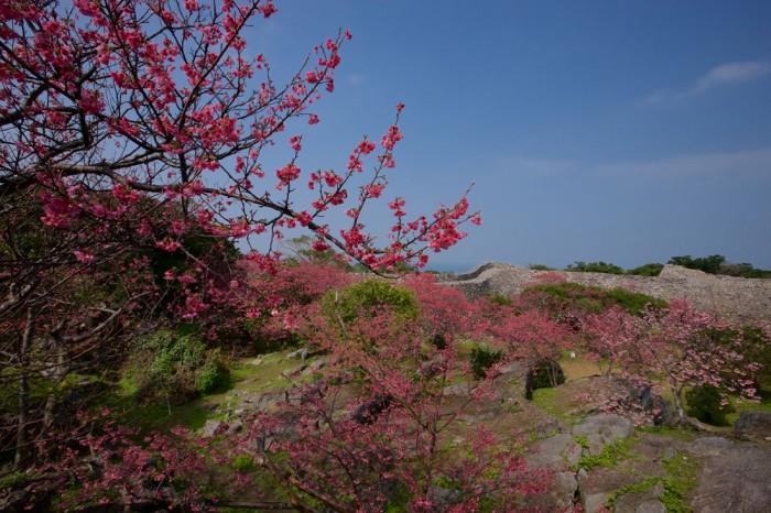 優美な曲線を描く城壁に桜が映える、世界遺産の「今帰仁城跡」。沖縄の桜は、花びらが濃いピンク色をしたカンヒザクラという種類です。可憐な美しさが春を告げます。