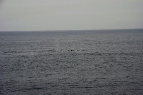 潮吹くザトウクジラも見れました。