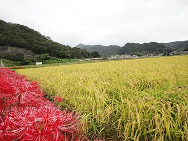 地元周辺で栽培され実った酒米。