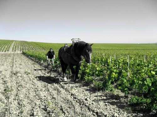 重量のあるトラクターを使うと土壌が固くなってしまうため、若木のぶどうの区画は馬で耕やしたりと、常に新しい挑戦をしている。