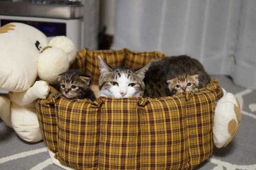 にがりちゃんは自分が産んだ以外の子猫も甲斐甲斐しく面倒を見てくれる。