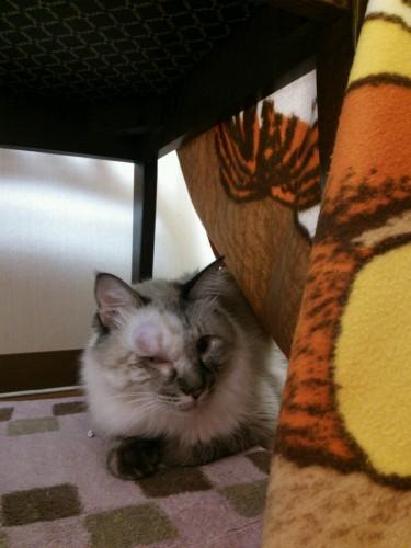 先住猫が部屋のドアをカシカシとかくと、警戒して椅子の下に逃げ込んでいた。