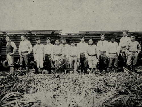 サトウキビ農場と日本人労働者