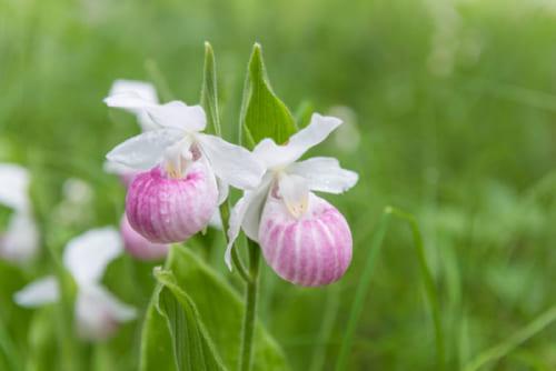 袋状の花を咲かすアツモリソウ