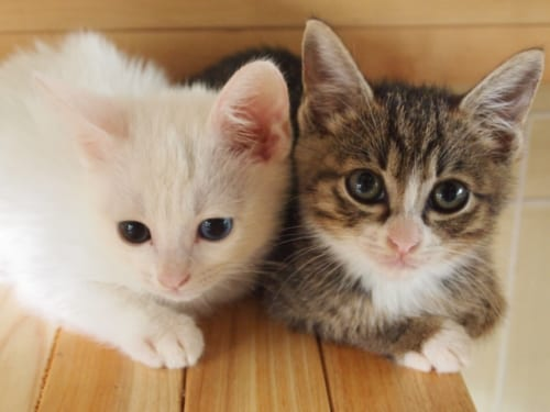 猫を2匹以上飼うなら子猫のうちからがいい?
