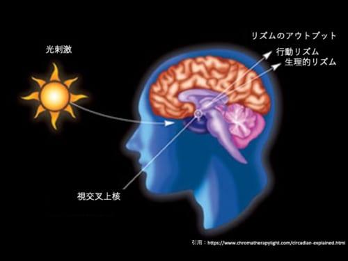 中枢時計の中心は脳の視交叉上核(ししょうこうさじょうかく)に存在する。同部は光刺激でリセットされる特徴を持つ。