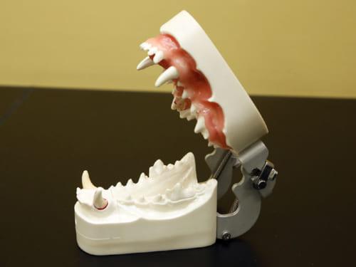 動物病院ではこうした歯の模型を使って指導してくれる