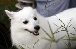 なぜ日本人は白い犬が好きなのか? 日本人と白い犬の歴史