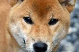 江戸時代の有名事件に登場した犬の糞
