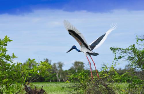 イエローウォータークルーズで見ることができる野鳥