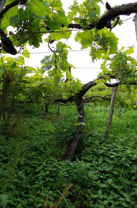 紫色に色づく前のマスカット・ベーリーAの畑。下草を生やし、四国の篤農業家・福岡正信氏が提唱する自然農法の考えに基づいてぶどう栽培をする。