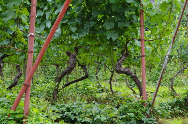 自社畑のシャルドネ。典子さんは木と木の畝のあいだが1.5mだったのを1mにして、密植率を上げた。ひとつの木になるぶどうの量を落とすことで、質を上げる。