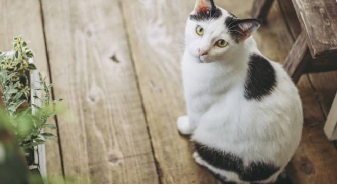 人気の高い猫の種類は?|3位はアメリカンショートヘアー、2位は 日本猫 、1位は? 【猫の国勢調査2019】結果発表!