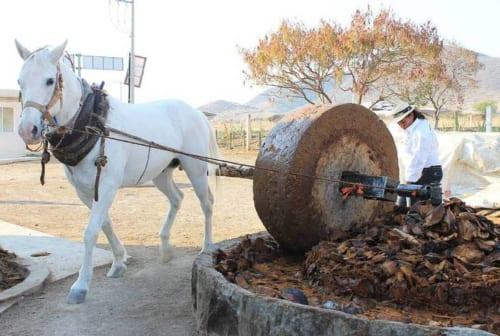 蒸したピーニャをつぶす馬