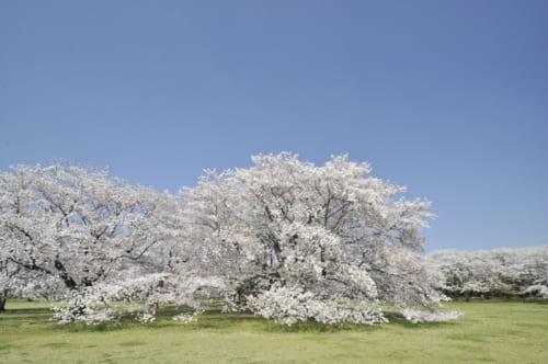 2位:国営昭和記念公園 桜の園【東京都】