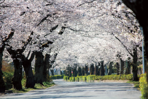 6位:長瀞の桜【埼玉県】