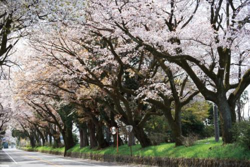 10位:日光街道桜並木【栃木県】