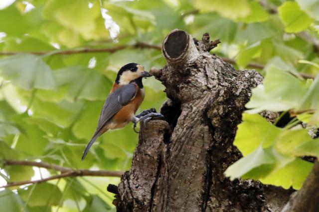 モースが感動した小鳥の芸