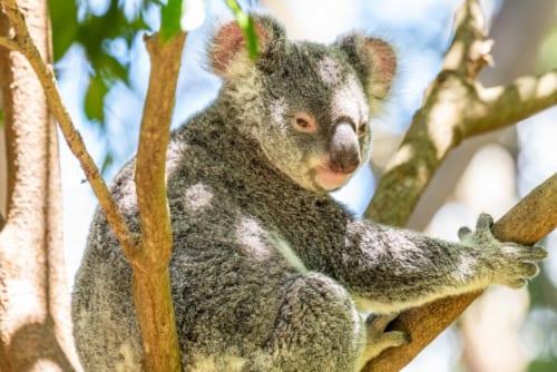 園内では多くのコアラを目にすることができる