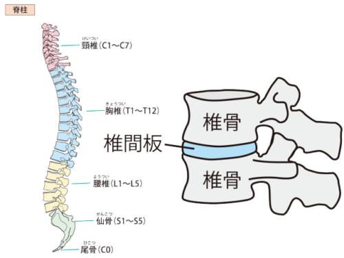 椎骨と椎骨の間にはクッションの役割をする椎間板があります。