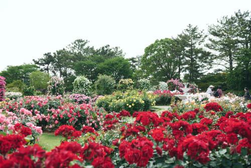 春のバラは華やかで見応えがあります。
