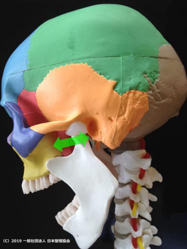 外側翼突筋は蝶形骨(ピンク)と下顎頭を前後方向に繋いでいる。