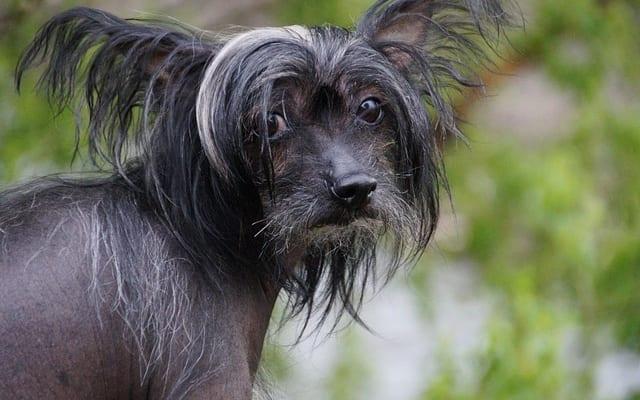 毛もないが、前臼歯もない不思議な犬種