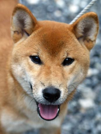 江戸時代、犬は鷹狩用の鷹の餌に