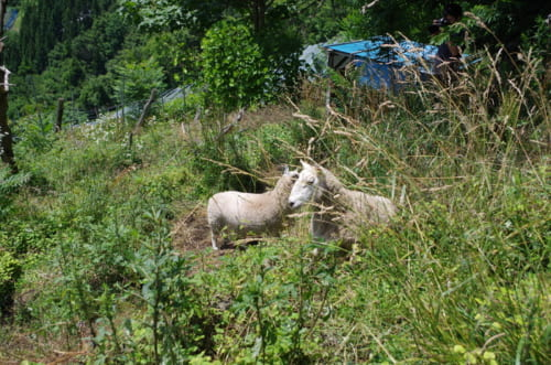 鳥上坂の畑で放牧されている羊。休みたいときに休み、草を食べたいときに食べている。草は干し草にして冬の餌にする。