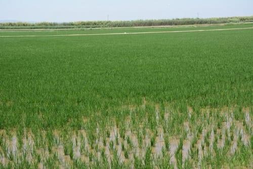 バレンシア市から少し南に行くと稲作地帯が広がる