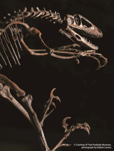 デイノ二クス 復元骨格 (C) Courtesy of Yale Peabody Museum, photograph by Robert Lorenz