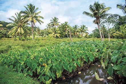 山沿いに広がるタロイモの畑。島の主食のひとつで、水を引いた畑で育てられ、さまざまな料理に用いられるポピュラーな食材だ。