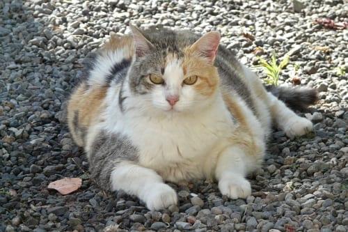 肥満の飼い猫を健康体に戻すダイエットのコツ|『専門医に学ぶ 長生き猫ダイエット』