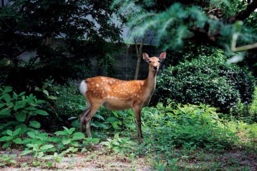 神の使いとされる奈良の鹿は、国指定の天然記念物。朝を中心に、宿にやって来ることも多い。