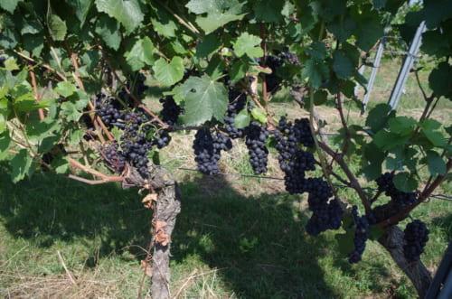 ビオで栽培されたブドウ。農薬や化学肥料を使わず、下草を生やすことで生物多様性を守る。