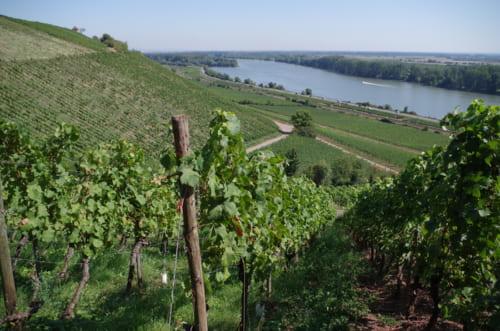 ドイツのラインヘッセン地方。ライン川に向かって急斜面のブドウ畑が続く。