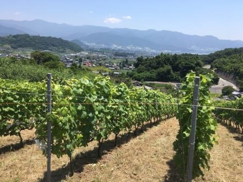 山梨・日向。小山田さん自ら苗を植えた、垣根仕立ての畑。
