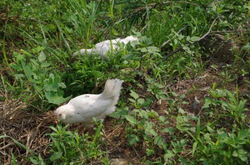 醸造所の横で飼われている鶏。自然のなかを自由に動き回る。