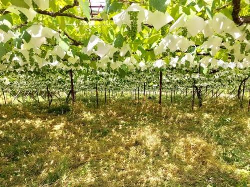 「BOW」の仕込みに使われる山梨の棚栽培の畑。草生栽培が行われている。